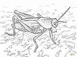 Grasshopper Coloring Pages Eastern Lubber Ant Grasshoppers Printable Print Again Bar Looking Case Don Find Categories Popular sketch template
