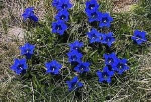 Blau Blühender Bodendecker : blauer enzian winterhart bildet h bsche blau bl hende polster im topf florashop2000 ~ Frokenaadalensverden.com Haus und Dekorationen