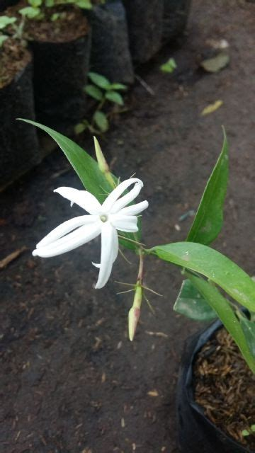 tanaman melati gambir impor jasminum nitidum