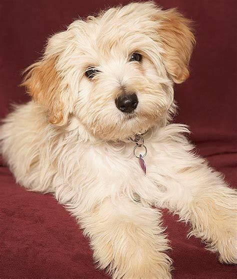 images  small dog breeds  pinterest