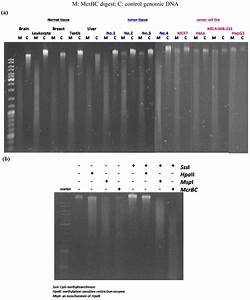 Genomic Dna Digested By Mcrbc   A  Digestion Of Normal