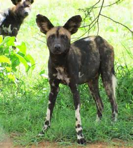 African Wild Dog Pack