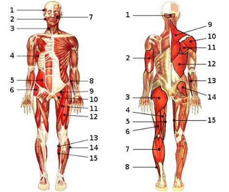 anatomy quiz  muscular system section