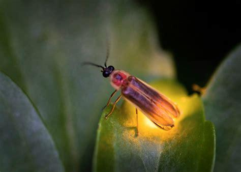 » Aje Com Theme Fireflies