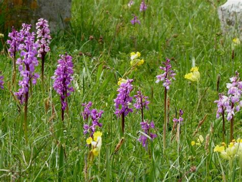 Orchis mascula | Online Atlas of the British and Irish Flora