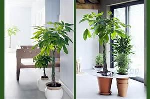 Plante D Intérieur Haute : de grandes plantes d int rieur pour janvier galerie ~ Dode.kayakingforconservation.com Idées de Décoration