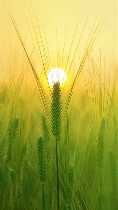 Barley Field Iphone Sun Wallpapers Nature Sunny