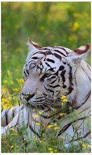 White Tiger HD Wallpaper   Background Image   2560x1600 ...