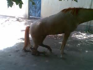 Horse Hind Leg Tendon Injuries