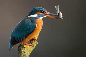 The Kingfisher Bird | Beauty Of Bird  Kingfisher
