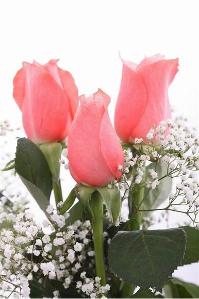 Bunga Gambar Mawar Cantik Yang Ros Untuk