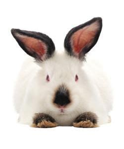 californian rabbit care sheet owner experiences tips
