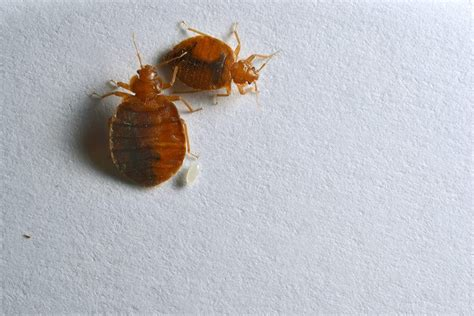 Bed Bugs Nyc by Bed Bug Pictures Bed Bug Exterminators In Nyc