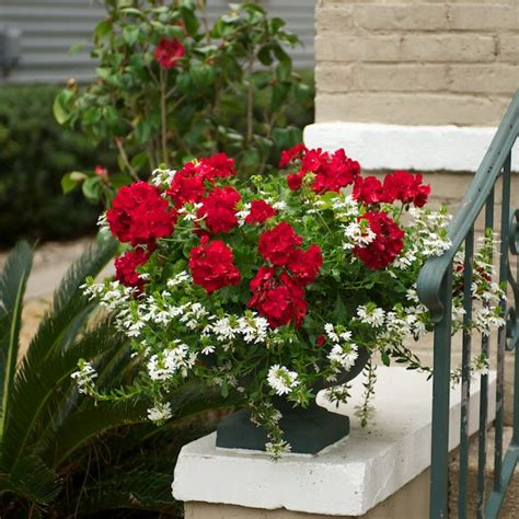 planting geraniums in pots plants and containers other plant and landscape things i liked in florida