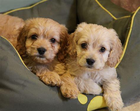small non shedding dogs small dogs for children goldenacresdogs