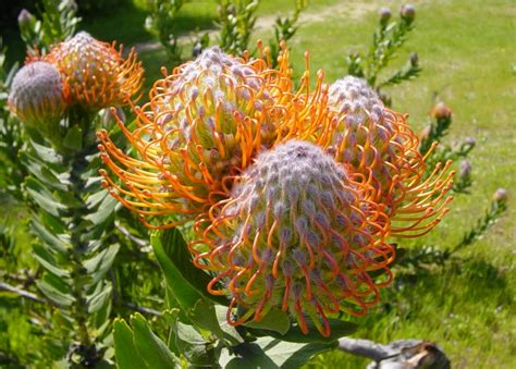 meditteranean plants 7 mediterranean climate plants rhynelandscape com