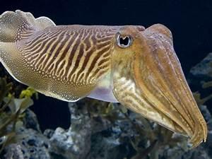 Cuttlefish Fish Underwater Animals Ocean Hd Wallpaper For ...