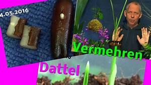Aprikosenbaum Selber Ziehen : vom samen zur pflanze die dattel palme youtube ~ A.2002-acura-tl-radio.info Haus und Dekorationen