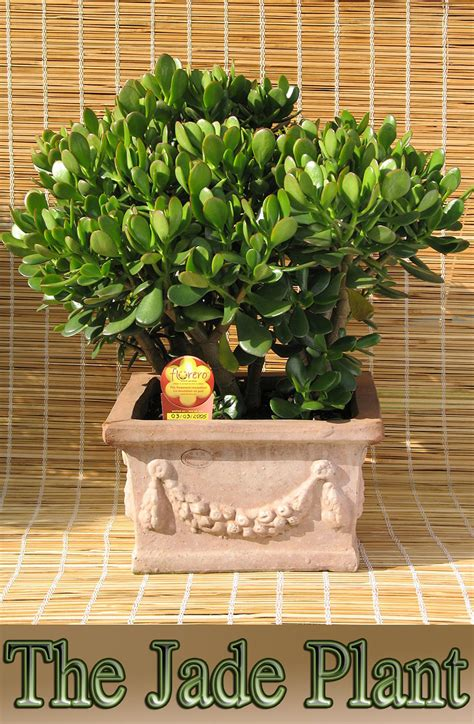 Easy To Grow Houseplant The Jade Plant  Quiet Corner
