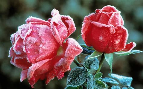 bloemen wingerd a rose in winter top 10 to choose from order and plant
