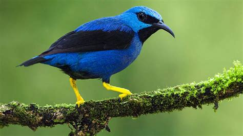 bird colors birds get drabber when their males fool around