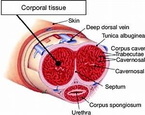 Schematic Penis Anatomy