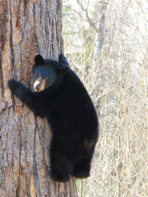 black bear  stock photo public domain pictures