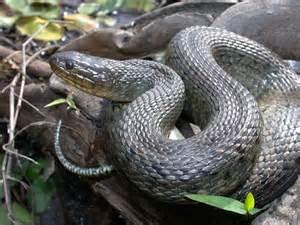 Eastern Green Water Snake