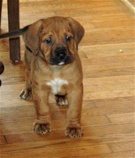 mountain mastiff bernese mountain dog mastiff mix info