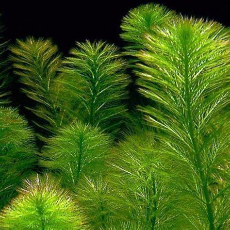 foxtail green bunched aquarium plant arizona aquatic gardens