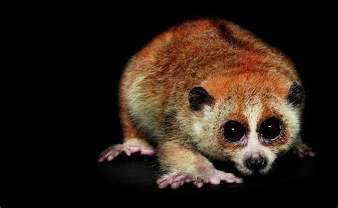 nocturnal animals night loris slow scott nocturne animal traer creatures rarely closeup stunning come species photographs vietnam pygmy tree guide