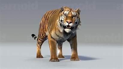 Tiger Maya 3d Animals Ma Mb Models