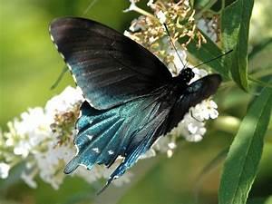 Pipevine Swallowtail  U2014 Wisconsinbutterflies Org