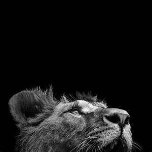 Portrait Of Lion In Black And White IIi Photograph by ...