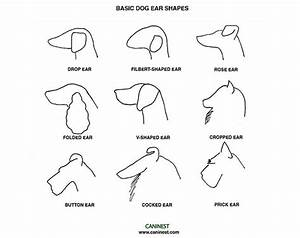 canine ear shape dog ear shapelearn more here dog With cat ear diagram