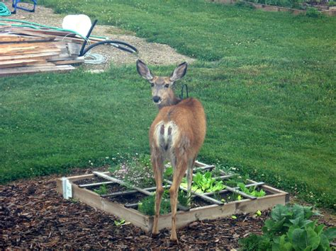 how to keep deer out of your garden how to keep deer and rabbits out of your garden the vertblog