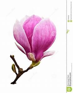 Fleur De Magnolia : fleur de magnolia d 39 isolement photo stock image du flore ~ Melissatoandfro.com Idées de Décoration
