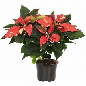 Weihnachtsstern Pflanze Kaufen : weihnachtsstern rotwei gefleckt topf ca 13 cm ~ Michelbontemps.com Haus und Dekorationen