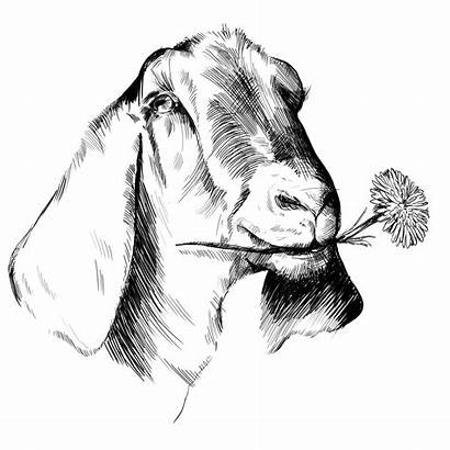 Graphic Goat Nubian Drawing Playful Personable Company