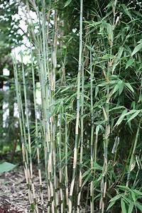 Bambus Zurückschneiden Frühjahr : bambus pflanzenshop fargesia 39 freds giant dragon 39 kaufen ~ Whattoseeinmadrid.com Haus und Dekorationen
