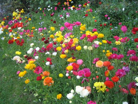 or perennial ranunculus flowers annual or perennial typesofflower com typesofflower com