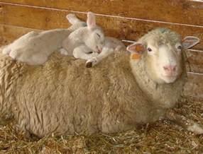 Cute Baby Lambs Sleeping