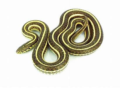 Snake Garter Plain Snakes Transparent Clipart Pail