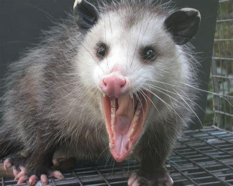 Possum Images Opossum Possum 8 X 10 Glossy Photo Picture Ebay