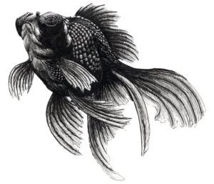 black moor goldfish facts care guide fish species