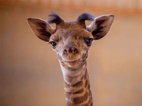 Phoenix Zoo Welcomes New Baby Masai Giraffe
