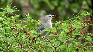 Malagueta pepper - Wikipedia