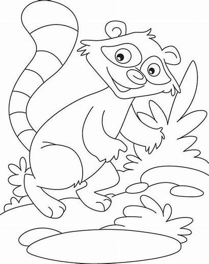 Raccoon Coloring Printable Raccoons Rocky Template Nimbus