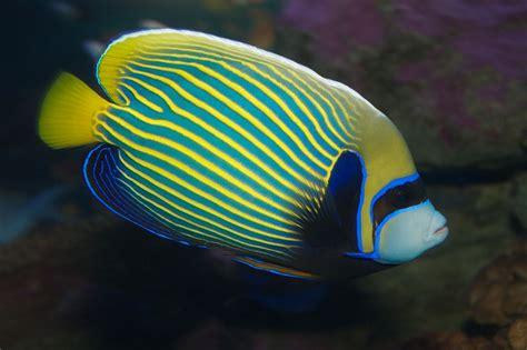 fileemperor angelfish pomacanthus imperatorjpg