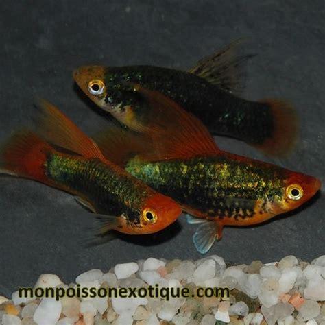 platy voile noir 3 5 4 cm lot de 5 poissons eau chaude